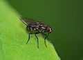 Another fly (2562162726).jpg