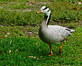 Anser indicus -Houston Zoo, Texas, USA-8a.jpg