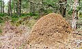 Ant Hill, Abernethy Forest - geograph.org.uk - 244603.jpg