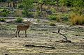Antelope and bird at Mole National Park.jpg