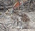 Antelope jackrabbit 2 cropped.jpg