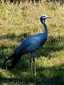 Anthropoides paradiseus -Brevard Zoo, Florida, USA-8a.jpg