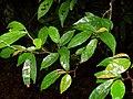 Antidesma japonicum var densiflorum 密花五月茶 (天問).jpg