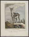 Antilope cervicapra - 1700-1880 - Print - Iconographia Zoologica - Special Collections University of Amsterdam - UBA01 IZ21400031.tif