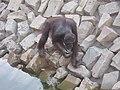Ape - Orangutan - വാലില്ല കുരങ്ങൻ 03.JPG