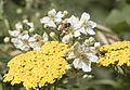 Apis mellifera - Bal arısı 01-1.jpg