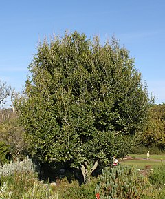 Apodytes dimidiata tree - Cape Town 4.jpg