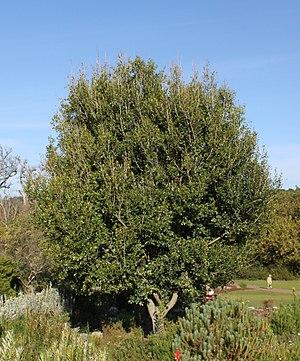 Apodytes dimidiata - Image: Apodytes dimidiata tree Cape Town 4
