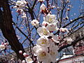 Apricot Blossom. North Bergen, NJ.jpg