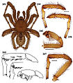 Aptostichus derhamgiulianii anatomy.jpg