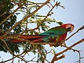 Ara chloropterus -Colombia -perching in tree-8.jpg