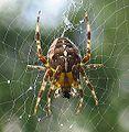 Araneus diadematus.jpg