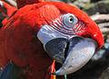 Arara-vermelha-grande - Ara chloropterus.jpg