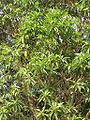 Arbutus canariensis.jpg