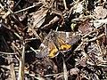 Archiearis parthenias - Orange underwing - Весенница берёзовая (39810405770).jpg