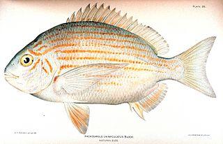 Western Atlantic seabream Species of fish