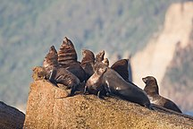 Hippolyte Rocks--Arctocephalus pusillus basking in the morning sun - SE Tasmania