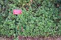 Arctostaphylos uva-ursi - Regional Parks Botanic Garden, Berkeley, CA - DSC04348.JPG