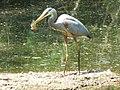 Ardea herodias (great blue heron) (Newark, Ohio, USA) 1.jpg