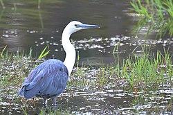 Ardea pacifica (White-necked Heron), Perth, WA 1.jpg