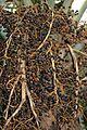 Arecales - Sabal bermudana - 5.jpg