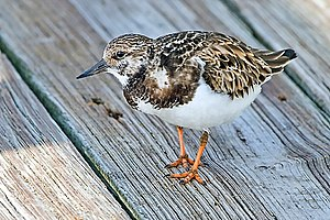 Turnstone - Ruddy turnstone in nonbreeding plumage