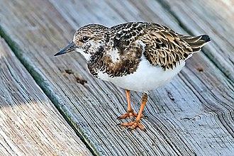 Turnstone - Ruddy turnstone in nonbreeding plumage