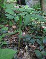 Arisaema serratum 2.jpg