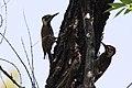 Arizona Woodpecker (male) Ft Huachuca AZ 2018-05-15 11-02-49 (47052416884).jpg