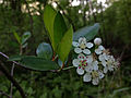Aronia melanocarpa - Black Chokeberry.jpg