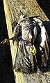Arpellot de Marjal mort, a Vistabella, València 01.jpg