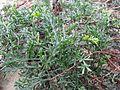 Artemisia campestris subsp. maritima (6).jpg