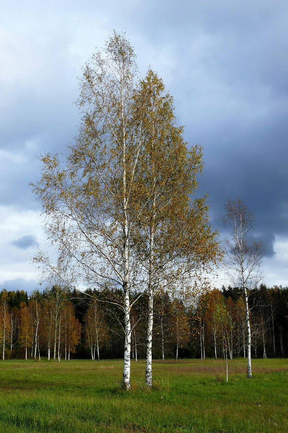 Betula pendula wikipedia la enciclopedia libre - Abedul blanco ...