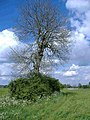 Ash tree, near Ashley Marsh - geograph.org.uk - 433725.jpg