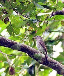 Ashy-breasted Flycatcher (Muscicapa randi) facing left in tree.jpg