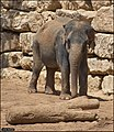 Asian-Elephant-Jerusalem-Jerusalem-Biblical-Zoo-IZE-283.jpg