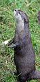 Asian short clawed Otter 2 (2761799775).jpg