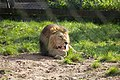 Asiatic Lion at Chester Zoo 1.jpg