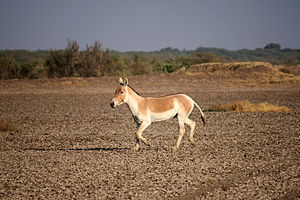 Onager - An Indian wild ass in Little Rann of Kutch, Gujarat