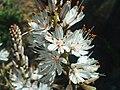 Asphodelus albus FlowersCloseup 2009March28 SierraMadrona.jpg