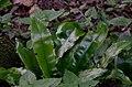 Asplenium scolopendrium leaves.jpg