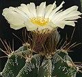Astrophytum ornatum (var. mirbelli).JPG