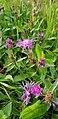 Atlas roslin pl Chaber łąkowy 7330 6641.jpg