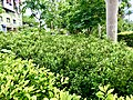 Atriplex nummularia shrub on Kailasagiri.jpg