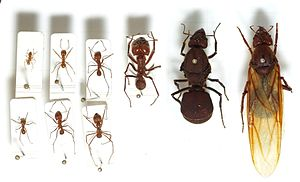Ant - Seven leafcutter ant workers of various castes (left) and two queens (right)