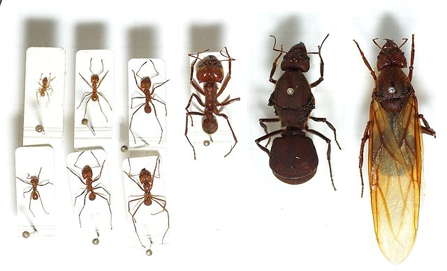 Seven leafcutter ant workers of various castes (left) and two queens (right)