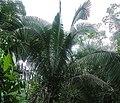 Attalea butyracea (19601924100).jpg