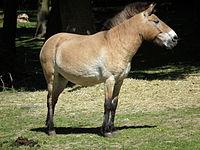 Upright Przewalski horse Pforzheim.JPG