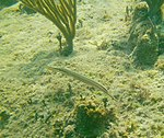 Aulostomus maculatus - trumpetfish - Bay of Pigs - Cuba.jpg