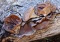 Auricularia americana Parmasto & I. Parmasto ex Audet, Boulet & Sirard 332747.jpg
